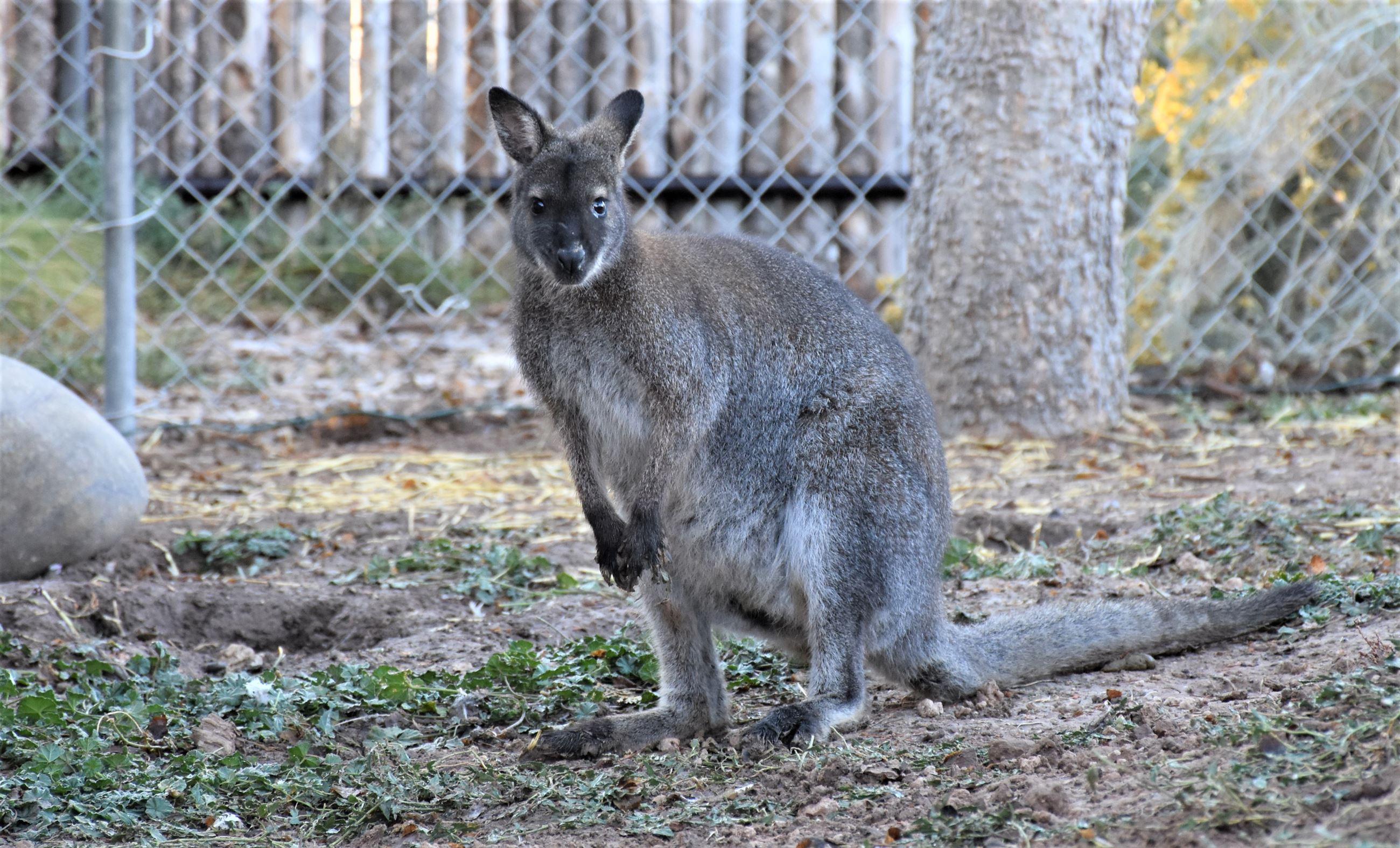 Wallaby (named Chashew) at zoo