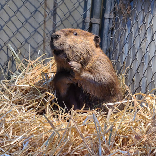 Photo of a beaver sitting in hay