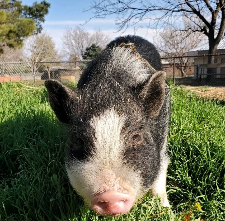 Photo of potbelly pig