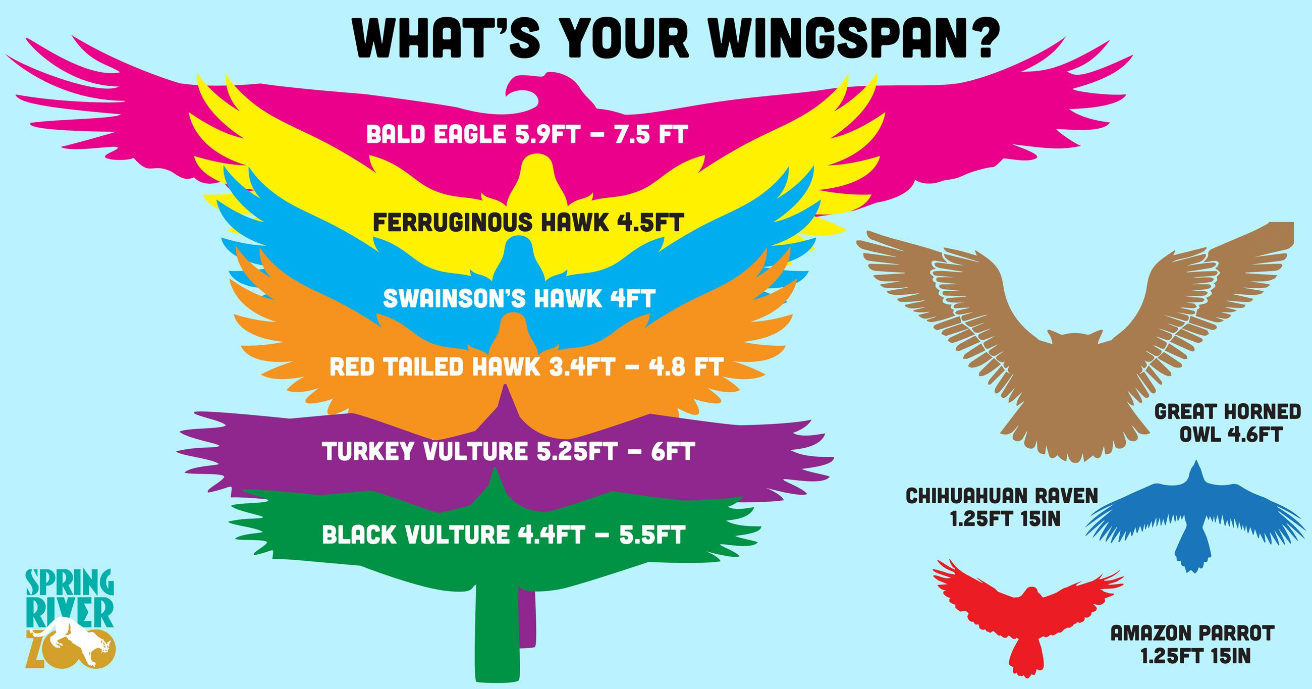 Infographic of wingspans of different birds