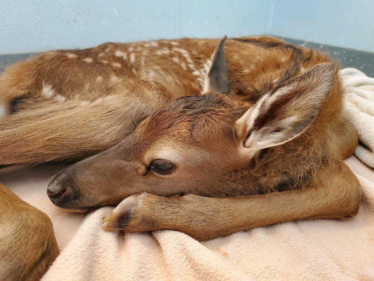Photo of a baby elk